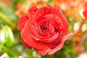 červená růže, kapky vody, okvětní lístky, květiny, zahrada