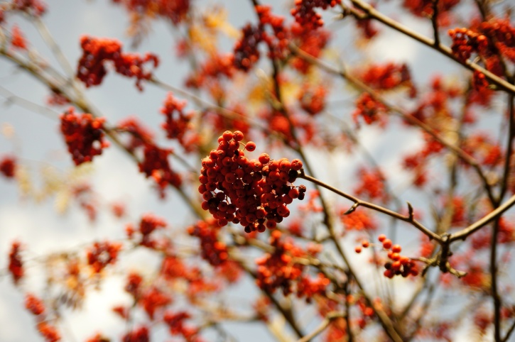 red, berries, tree, branches