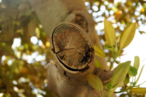 ficus tree, branch, tree cut, flora