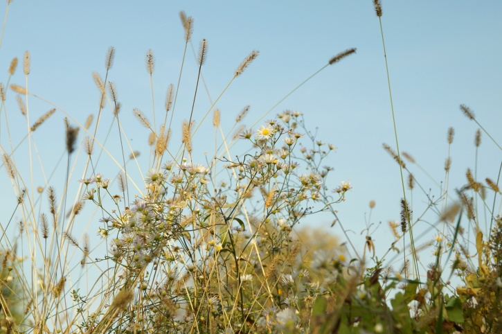wild camomile grass, grass, summer