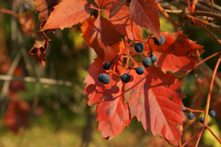 wild grape, red leaves, fruit, autumn