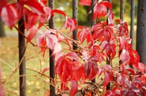 wilde Trauben, rote Blätter, Metallzaun