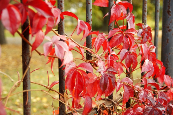 wild grapes, red leaves, metal fence