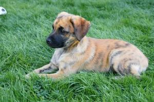 dog, animal, pet, domestic dog, canine, puppy, green grass