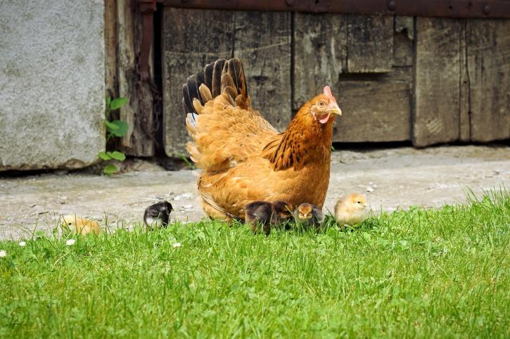 tyúk, csirke, madarak, naposcsibék, fű, háztáji