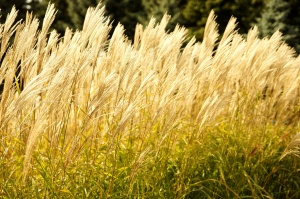 reed, grass, summer time, dry grass