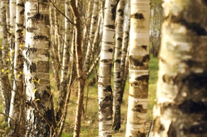tree trunks, birch, trees, spring