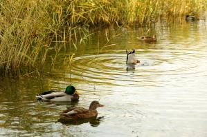 wild ducks, birds, animals, floating, lake