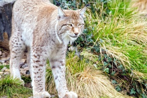 lynx, animal, carnivore, wild, animal, wildlife