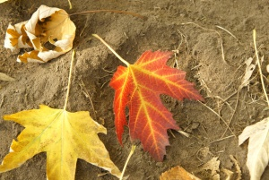 red leaf, yellow leaf, ground, autumn