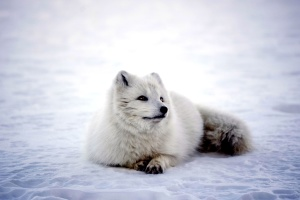 animal, polar fox, snow, frost, frozen, ice, mammal