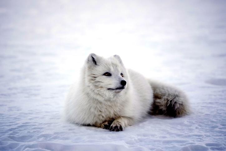 ζώο, πολικές αλεπούδες, χιόνι, παγετός, κατεψυγμένα, πάγος, θηλαστικό