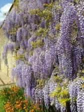 acacia, flowers, bloom, leaves, petals, plants