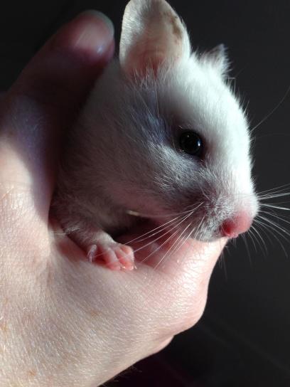 animal, white mouse, wildlife, fauna, hamster, hand