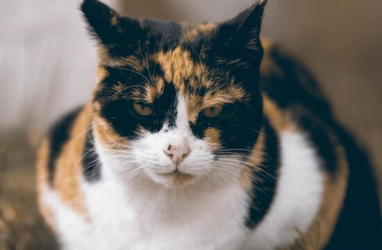 animal, domestic cat, pet, kitten, cat, mad face, colors