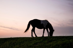 animal, silhouette, grass, horsetail, pony, sunset, dusk