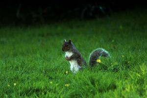 Tier, Eichhörnchen, Gras