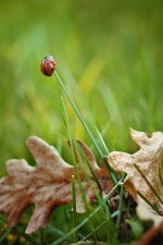 insect, ladybug, grass, green