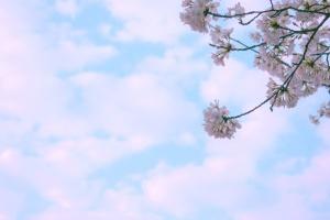 Park, musim semi, ceri, bunga, bunga, langit
