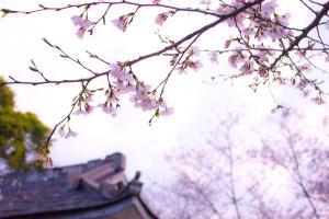 Sun, cerah, pohon, blossom, biru, langit, musim semi waktu