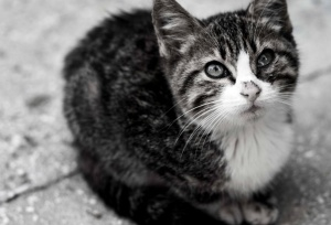 chat, mignon, chat domestique, animal, animal familier, carnivore, chaton