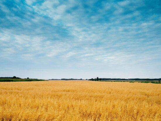 nuages, ciel bleu, l'agriculture, les cultures, le blé, le paysage, l'été