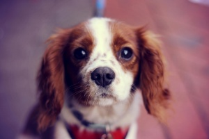 pet, dog, animal, puppy, pet, animals, carnivore, canine
