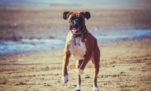 chien, plage, boxeur, animal, carnivore, canin, animal familier