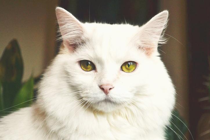 Kostenlose Bild: Kätzchen, weiße Katze