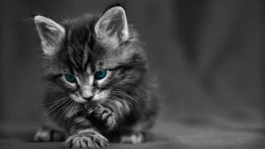 animal, kitten, cute, domestic cat, pet
