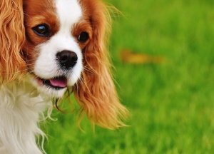 perrito, pura, perro, canino