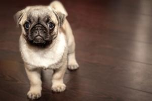 pug, puppy, dog, canine, purebred