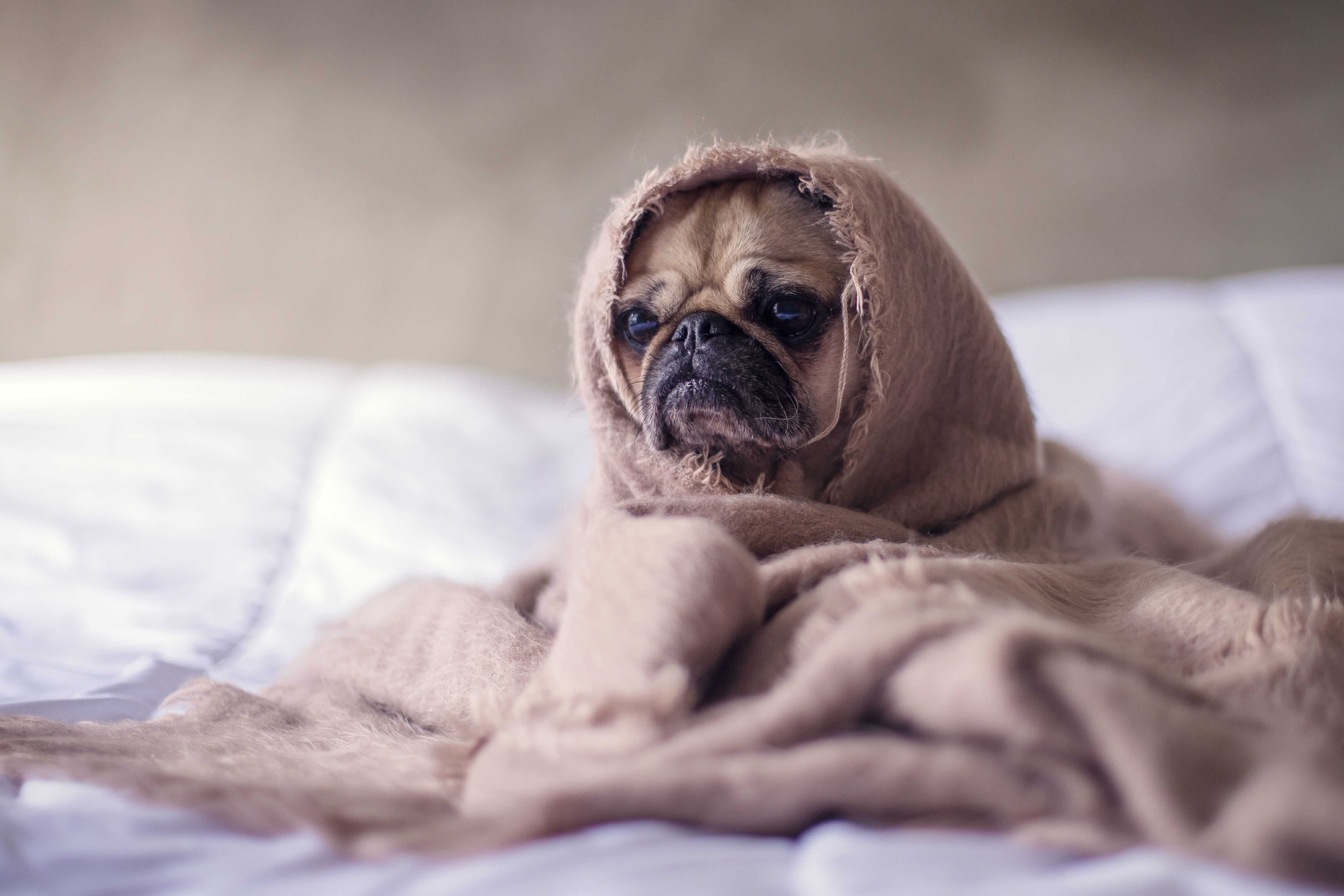 Kostenlose Bild: haustier, niedlich, hund, schlafen, hunde ...