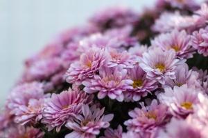 krizantém, botanikus kert, virág, csokor