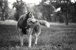 chien, canin, animal, noir, blanc, herbe, arbre, portrait