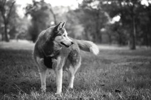 dog, canine, animal, black, white, grass, tree, portrait