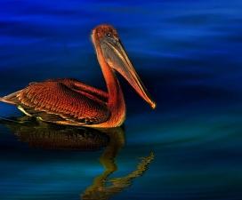 brown pelican, animal, bird, waterfowl, lake