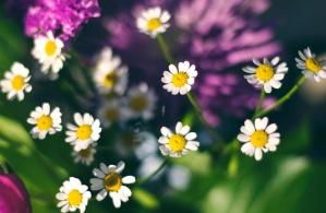 flower, daisy, spring, summer