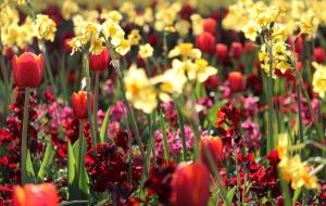 flower, garden, nature, red, yellow, summer