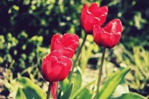 flower, tulips, summer, garden