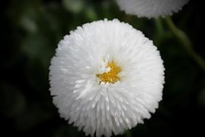 flower, white petals, flora, pollen