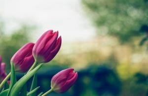 flowers, tulips, summer, nature, green, purple, bloom, petals