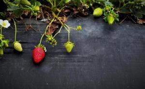 ovocie, jahody, zrelé ovocie, sezóna, leto