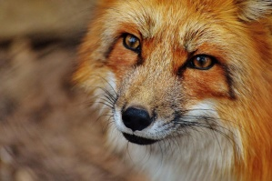 fox, animal, wildlife, photography, nature