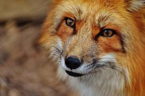 fox, animal, wildlife, photography, nature