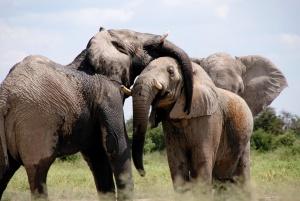 Africa, animals, herd, safari, wildlife, elephants, animal