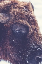 buffalo, livestock, bison, head, horn, winter