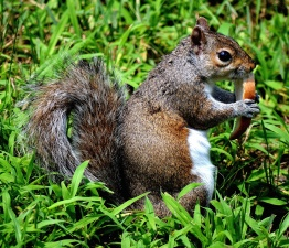squirrel, fauna, eating, grass, nature, wildlife