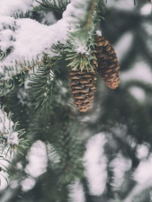 winter, branch, pine, conifer tree, snow