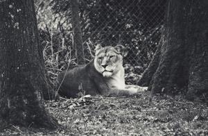 Löwin, wild, Tier, Afrika, Natur